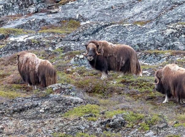 À la recherche du puissant bœuf musqué
