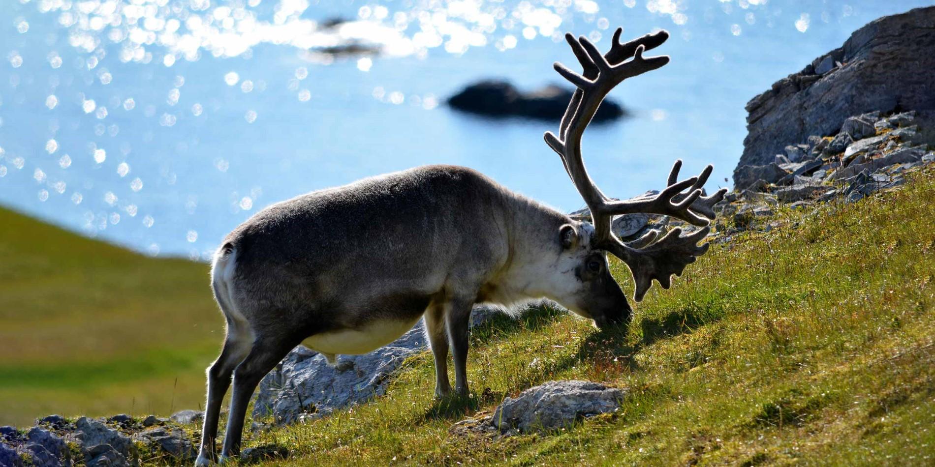 https://www.hurtigruten.fr/globalassets/photos/destinations/svalbard/wildlife/heike-konrad-reindeer.jpg?width=1900&height=950&center=0.56,0.5&transform=DownResizeCrop